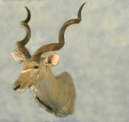 Greater kudu game head shoulder mount; Africa