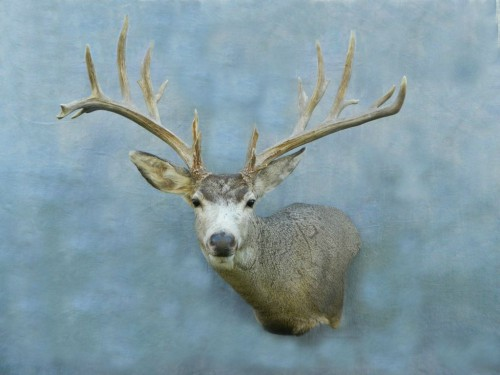 Mule deer game head shoulder mount; Webster, SD