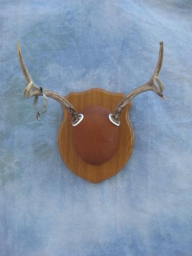 Mule deer antler mount; Nebraska