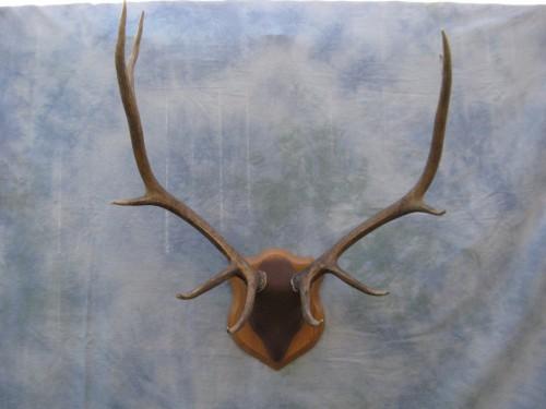 Elk antler mount; Rocky Mountains, Colorado