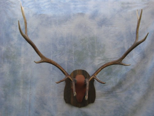 Elk antler mount; Rocky Mountains, Colorado