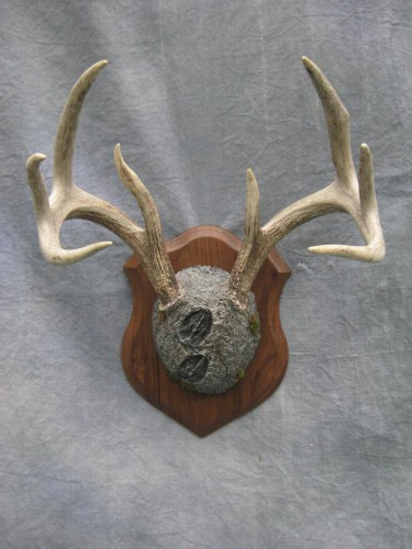 Whitetail deer antler mount; Clark, South Dakota