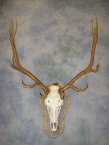 Elk European skull mount; Gunnison, Colorado
