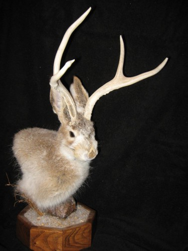 Jackalope shoulder pedestal mount; Cheyenne, Wyoming