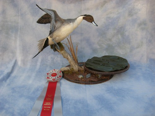 Northern pintail duck mount; Colorado Taxidermy Competition award winner