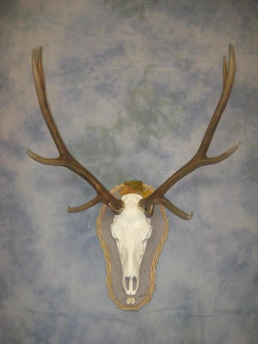 Elk European skull mount with artificial skull; Gunnison, Colorado