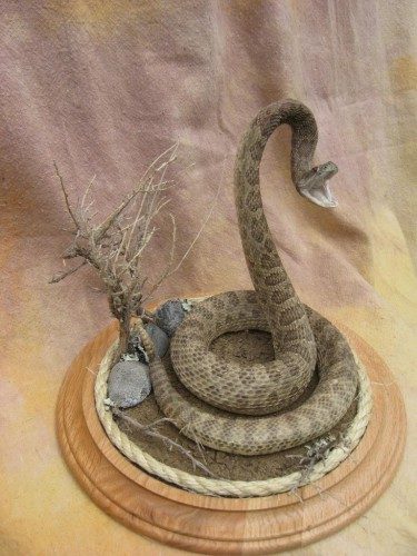 Striking rattlesnake mount; Winner, South Dakota
