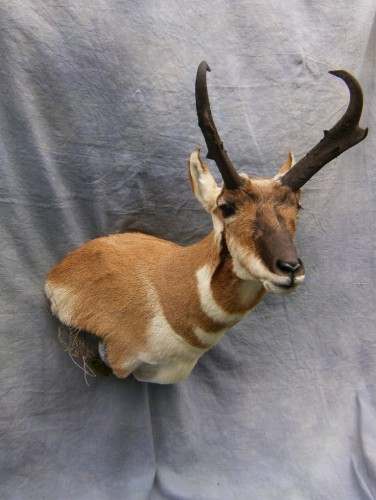 Antelope shoulder mount; Denver, Colorado