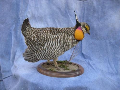 Drumming prairie chicken mount; Kansas
