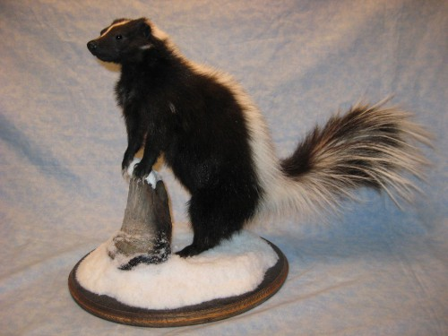 Skunk mount; Rapid City, South Dakota