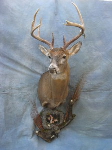 Whitetail deer shoulder mount game head; North Platte, Nebraska