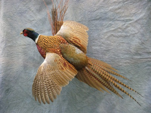 Ringneck pheasant mount; Redfield, South Dakota