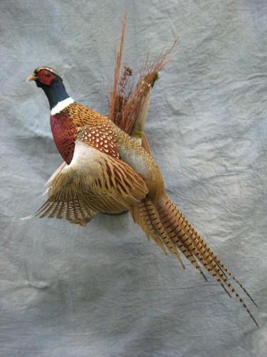 Ringneck pheasant mount; Kansas
