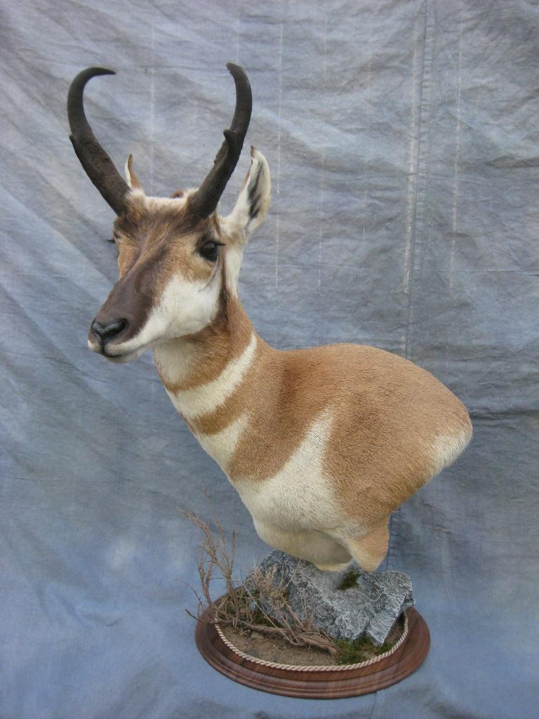 Showpiece Taxidermy South Dakota Antelope Mounts