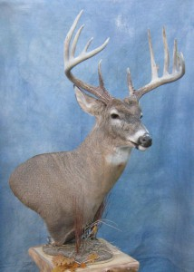 Whitetail deer pedestal shoulder mount; Rapid City, South Dakota
