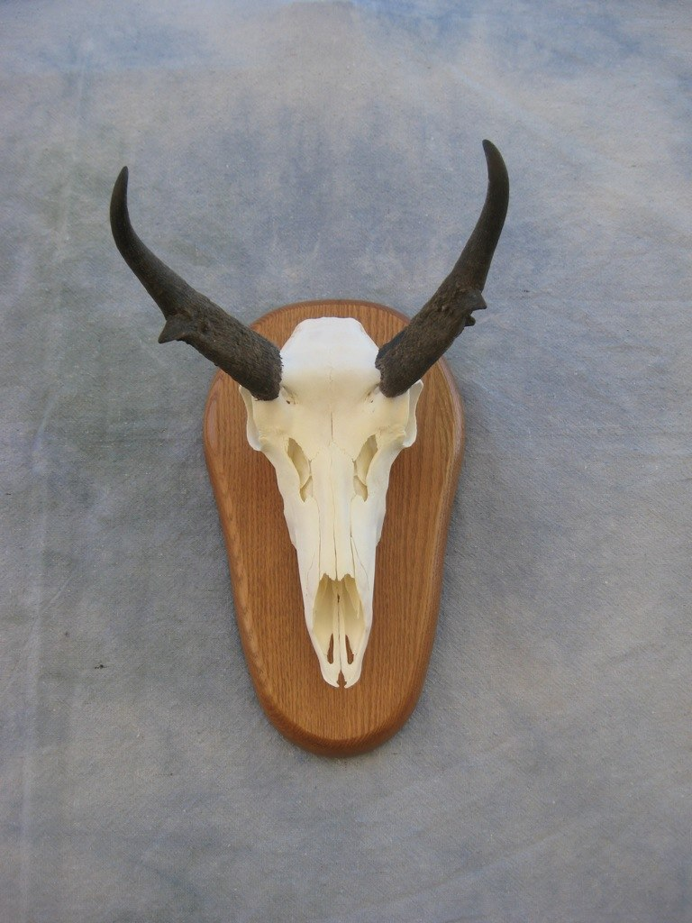how to cut a deer skull for a european mount
