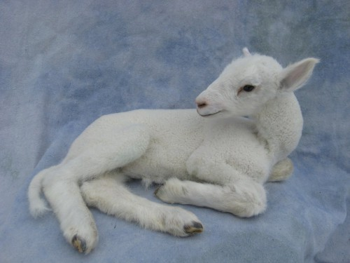 Baby lamb mount; pen-raised