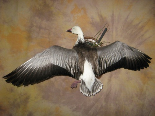 Blue goose mount; pen-raised near Denver, Colorado