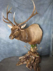 Elk pedestal game head mount; Denver, Colorado