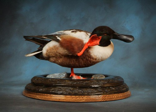 Northern shoveler duck mount; National Taxidermy Competition award winner