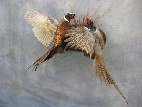 Fighting ringneck pheasants mount; Aberdeen, South Dakota