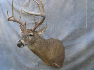 Whitetail deer shoulder mount game head; Kansas