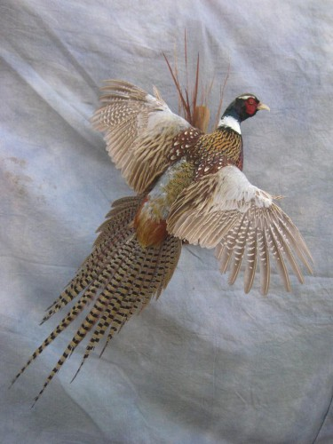 Ringneck pheasant mount; Aberdeen, South Dakota