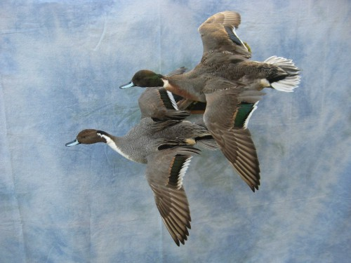 Pintail and mallard hybrid duck mounts; Brookings, South Dakota