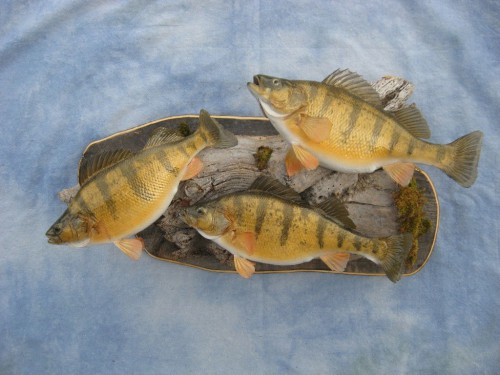 Yellow perch mount; Watertown, South Dakota