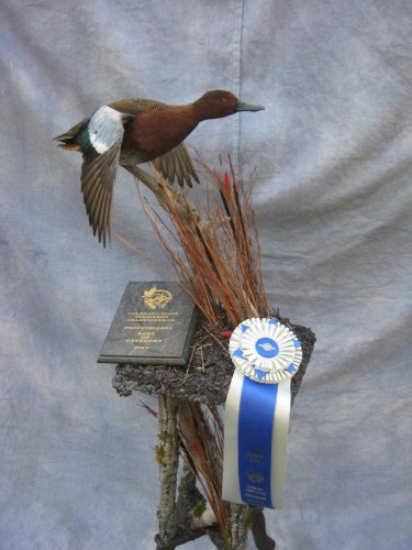 Cinnamon teal duck mount; Award winner at Colorado State Taxidermy Competition