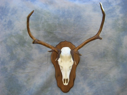 Elk European skull mount; Grand Junction, Colorado