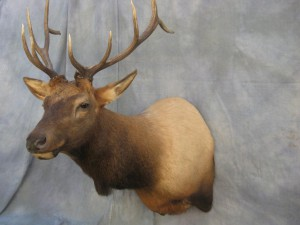 Elk shoulder mount game head; Rifle, Colorado