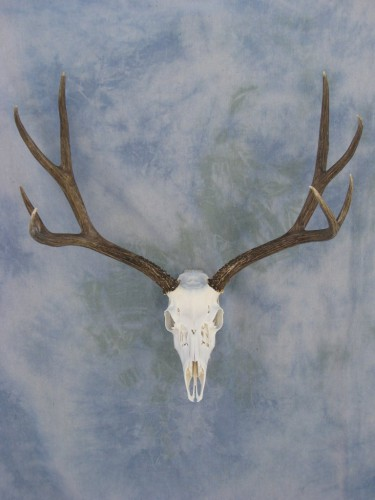 Mule deer European skull mount; Denver, Colorado