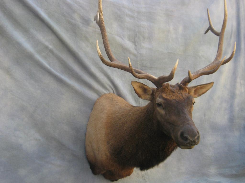 Showpiece Taxidermy South Dakota Elk Amp Moose Mounts