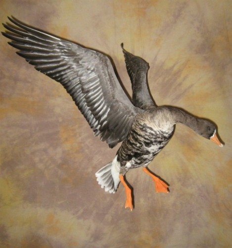 Greater white fronted goose mount; Aberdeen, South Dakota