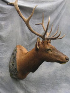 Elk shoulder game head mount; Denver, Colorado