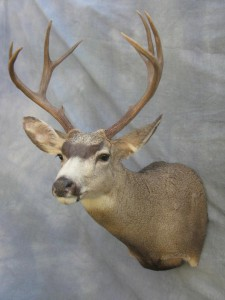 Mule deer shoulder mount game head; Fairplay, Colorado