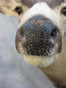Mule deer shoulder mount; Fairplay, Colorado