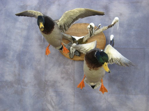 Mallard pair duck mounts; Aberdeen, South Dakota