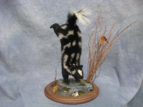Spotted skunk mount; Washington