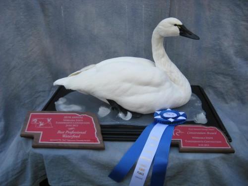 Tundra swan mount; Award winner at Nebraska Taxidermy Competition