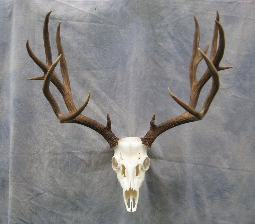 also Madison Ivy Spencer Scott as well European Mount Skull Mule Deer ... Mule Deer European Mount