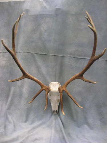 Elk European skull mount; Craig, Colorado
