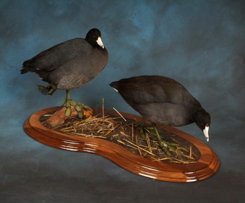 Coot mount pair; Clark County, South Dakota