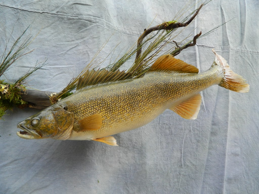 Showpiece taxidermy fish walleye trout crappie mounts for Wall eye fish