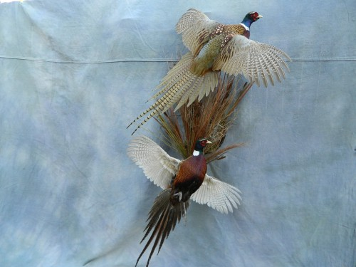 Double ringneck pheasant mount; Brighton, Colorado