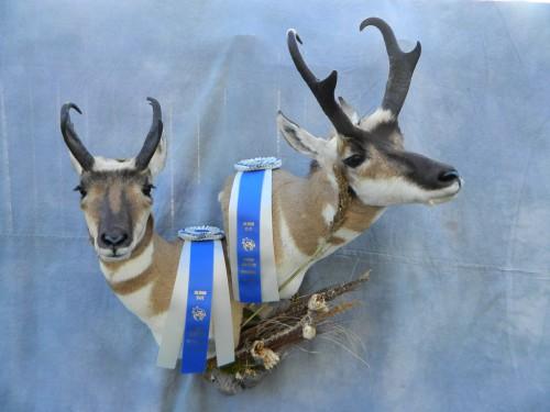 Antelope pair shoulder mounts; Award winner in Colorado and Nebraska