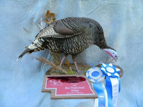 Merriam's turkey hen mount; Award winner in Colorado and Nebraska