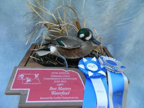 Northern shoveler X wigeon hybrid duck mount; Award winner in Colorado and Nebraska