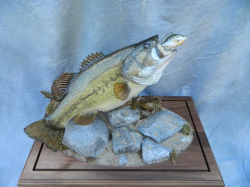 Largemouth bass reproduction fish mount; Fort Morgan, Colorado